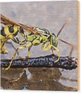Wet Wasp Wood Print