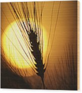 Wheat At Sunset  Wood Print by Tim Gainey