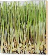 Wheatgrass Seedling Wood Print