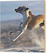 Whippet Dogs Fighting Wood Print