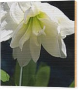White Amarillys Wood Print