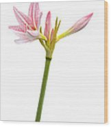 White Amaryllis Flower Wood Print