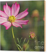 White And Magenta Cosmos Wood Print