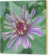 White And Purple Spiky Petals Wood Print