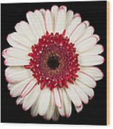 White And Red Gerbera Daisy Wood Print