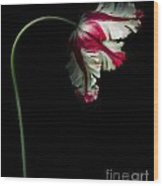 White And Red Parrot Tulip Wood Print