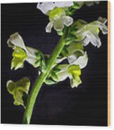 White And Yellow Snapdragons Wood Print