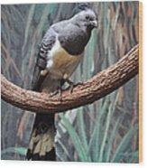 White-bellied Go-away-bird Wood Print