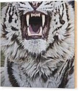 White Bengal Tiger At Forestry Farm Wood Print