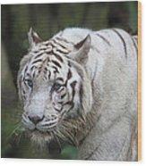 White Bengal Tiger Wood Print
