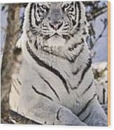 White Bengal Tiger, Forestry Farm Wood Print
