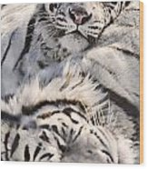 White Bengal Tigers, Forestry Farm Wood Print