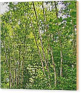 White Birch Along Rivier Du Nord Trail In The Laurentians-qc Wood Print