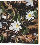 White Bloodroot Wood Print