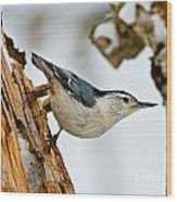 White-breasted Nuthatch Pictures 97 Wood Print