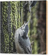 White Breasted Nuthatchs Wood Print