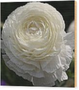 White Buttercup - Ranunculus Wood Print