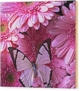 White Butterfly On Pink Gerbera Daisies Wood Print