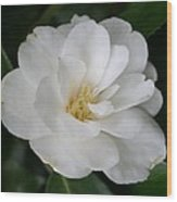 Snow White Camellia Wood Print