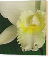 White Cattleya Orchid Wood Print