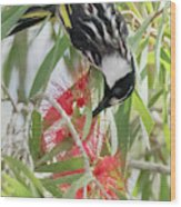 White-cheeked Honeyeater Feeding Wood Print