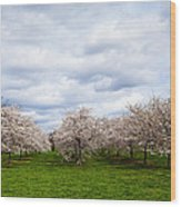 White Cherry Blossom Field In Maryland Wood Print by Susan Schmitz