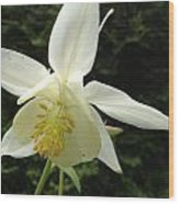 White Columbine Wood Print
