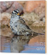 White-crowned Sparrow Bathing Wood Print