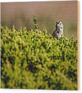 White-crowned Sparrow In A Bush Wood Print