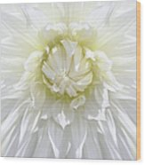 White Dahlia Floral Delight Wood Print