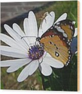 White Daisy And Butterfly Wood Print