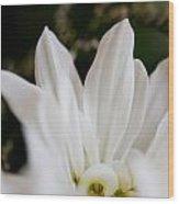 White Daisy Wood Print by John Holloway