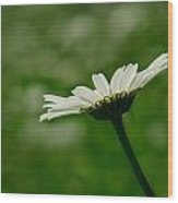 White Daisy Wood Print