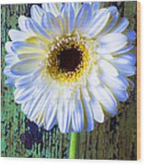 White Daisy With Green Wall Wood Print