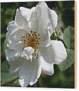 White Dog Rose Wood Print
