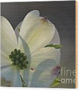 White Dogwood Blooms Series Photo K Wood Print