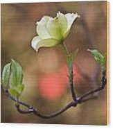 White Dogwood In Early Spring Wood Print