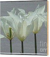 White Early Dawn Tulips Black Border Wood Print