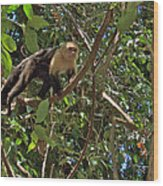White-faced Capuchin Monkey In Manuel Antonio National Preserve-costa Rica Wood Print