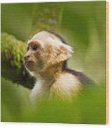 White Faced Capuchin Monkey Portrait Wood Print