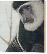 White Faced Monkey Wood Print