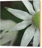White Flannel Flowers Wood Print