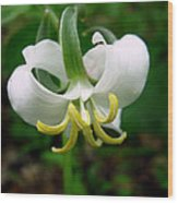 White Flowering Rose Trillium Wood Print