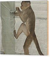 White-fronted Capuchin Checking Pocket Wood Print