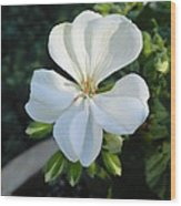 White Geranium Wood Print