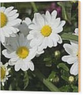 White Gerbera Daisy Wood Print