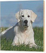 White Golden Retriever Dog Lying In Grass Wood Print by Dog Photos