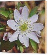 White Hepatica 2 Wood Print