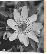 White Hepatica Wood Print