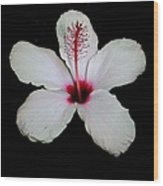 White Hibiscus Isolated On Black Background Wood Print